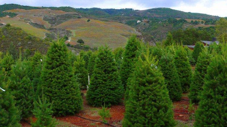 Một cây thông thường mất khoảng 8 năm phát triển nên người ta phải trồng rất nhiều để cung cấp đủ cho thị trường.