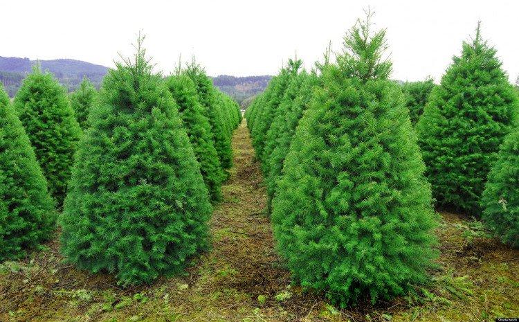 Do đó, các chủ trang trại trồng thông thường phải phun thuốc trừ sâu và bón phân cho cây phát triển tốt.