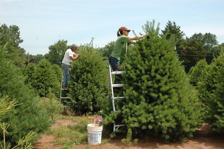 Để cây thông có hình dáng đẹp chuẩn, người trồng thường xuyên phải cắt tỉa từ khi còn nhỏ.