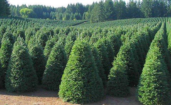 Khi cây thông đã đủ tiêu chuẩn về chiều cao, hình dáng đẹp, người ta bắt đầu thu hoạch.