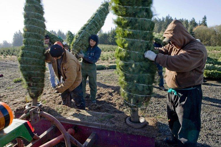 Người ta thường dùng dây hoặc túi lưới để cuốn gọn những cây thông nhằm tiện cho việc vận chuyển đến khách hàng.