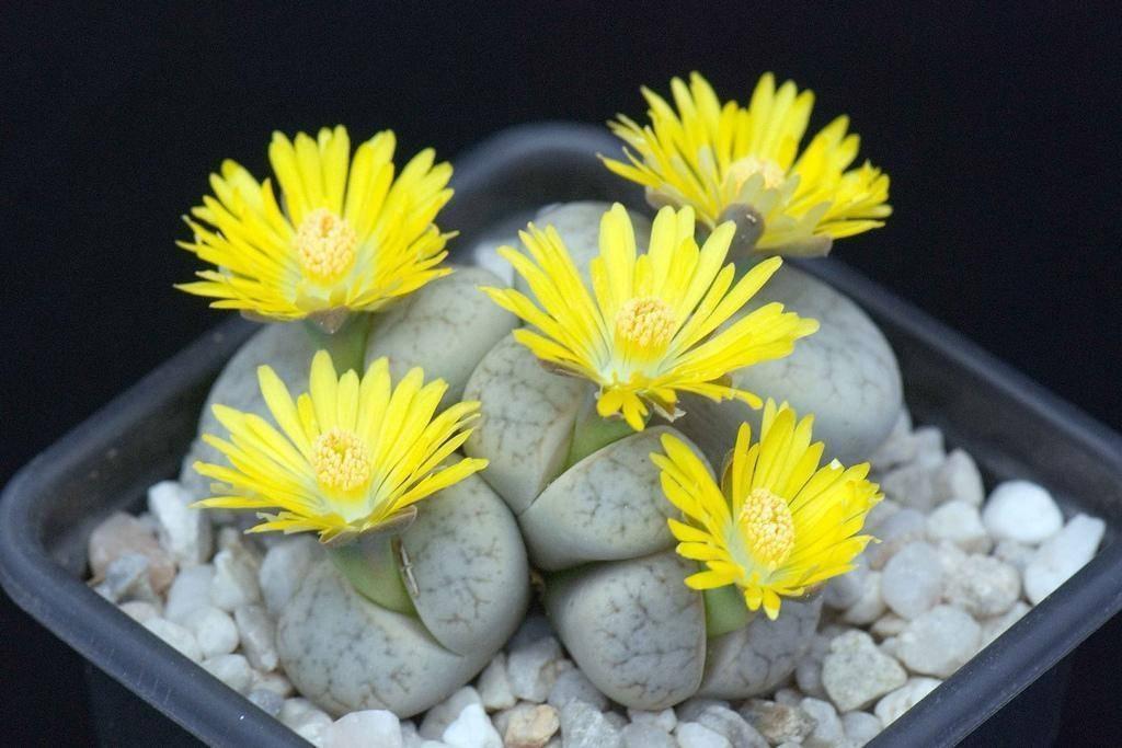 Một cây hoa sỏi đá bao gồm một hoặc nhiều cặp hình củ, gần như hợp nhất lại đối diện với nhau và hầu như không có gốc.