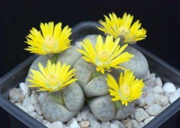 Kinh ngạc loài hoa có hình dáng như viên sỏi