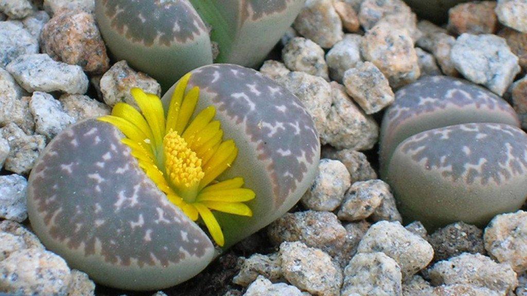 Khe giữa các lá cây có chứa mô phân sinh sản xuất hoa và lá mới.