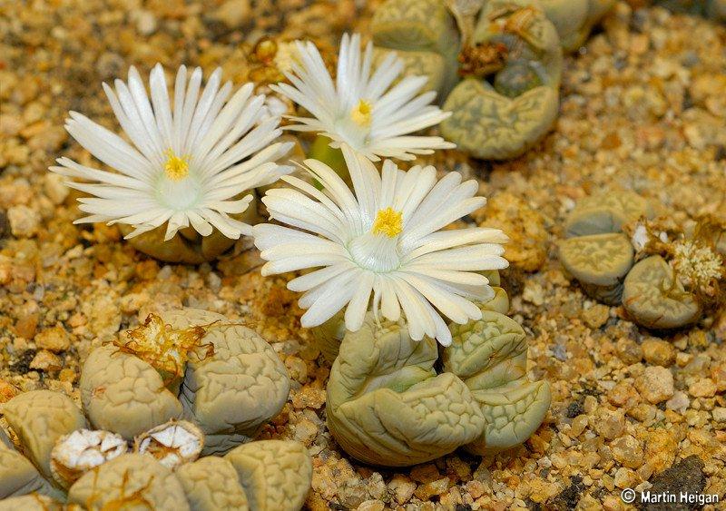Cây hoa sỏi đá có nhiều màu khác nhau như kem, xám, nâu, lam, thậm chí có cây trong suốt, nhìn thấy cả các cơ quan bên trong.