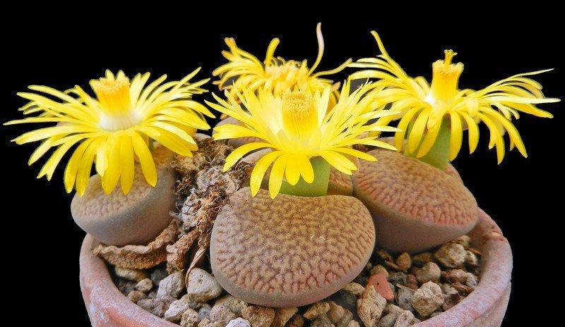 Cây sỏi đá thường nở hoa vào mùa thu, hoa mọc từ khe nứt, và có đường kính từ 4 - 5cm.