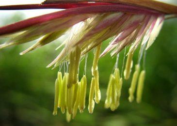 Bí ẩn hoa tre trăm năm nở một lần