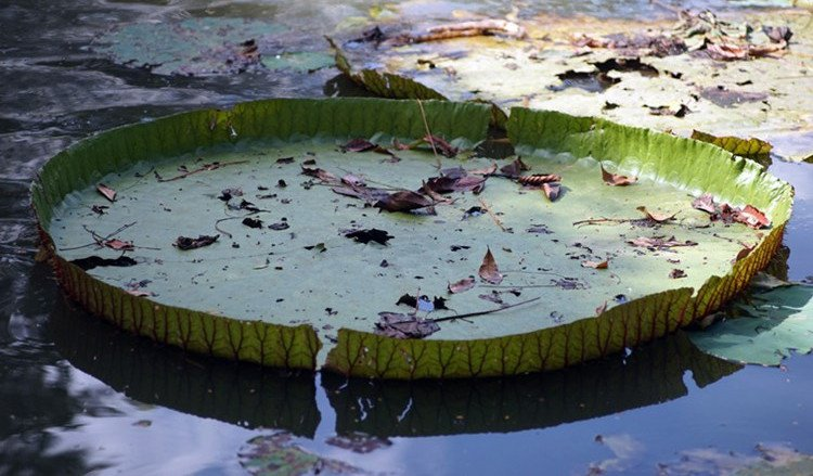 Nét đặc trưng của sen vua là những chiếc lá khổng lồ, đường kính có thể đạt đến 3-4m