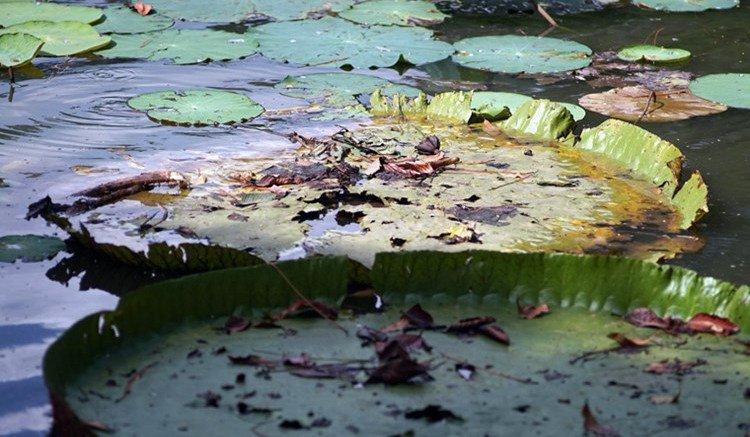 Thân của cây sen vua có thể dài đến 10m, nằm chìm dưới mặt nước.