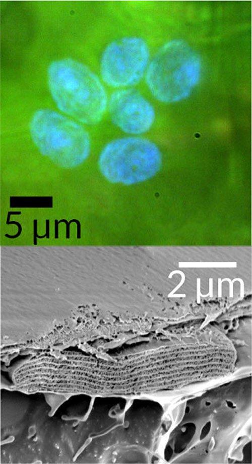 Vi cấu trúc Iridoplasts tồn tại trong hệ lục lạp của lá cây Thu Hải Đường.