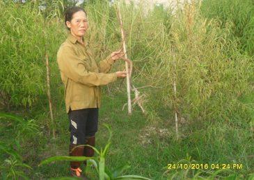 Xử lý tuyến trùng hại đào bích