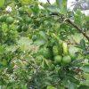 """Những loại trái cây không hạt thu lời """"khủng"""" của dân Việt"""