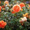 Tái chế bã cà phê và vỏ chuối thành loại phân bón thần kì giúp hoa hồng nở siêu đẹp