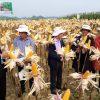 Ngô biến đổi gen  – Thêm giải pháp giúp nông dân nâng cao thu nhập và cải thiện thói quen canh tác theo hướng bền vững