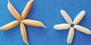 Bangladesh công nhận giống lúa biến đổi gen đầu tiên