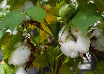Hạt bông sớm sẽ có thể sử dụng làm thực phẩm